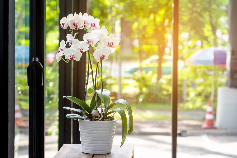 鉢植えの胡蝶蘭を贈ろう